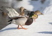 picture of male mallard  - View on Mallard ducks in the winter - JPG