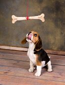 Seven weeks old cute little beagle puppy watching a huge bone