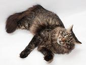 Striped Siberian Cat Is Looking Askance