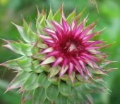Flower Of silybum marianum, milk thistle, plant of asteraceae family.