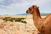 Camel Resting On A Sand Dune In Central Mongolia