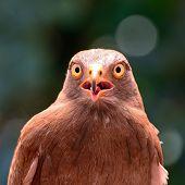 Rufous-winged Buzzard
