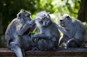 foto of macaque  - Monkeys - JPG
