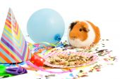 Guinea Pig Is Celebrating His Birthday