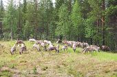 pic of laplander  - Herd of deer grassing near forest in Lapland - JPG