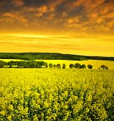 rapeseed field in the sunset