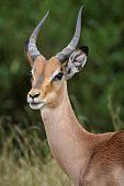 Impala Antelope Portrait