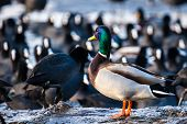 image of male mallard  - Wild male Mallard duck over coots in winter time - JPG