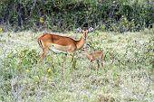 Gazelle Impala