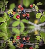 wild blackberries reflected on water
