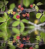 wild blackberries reflected on water