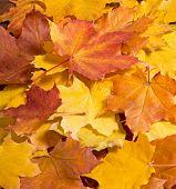 Rowanberry Leaves