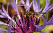 A Hoverfly feeding on a beautiful flower