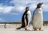 Two Gentoo Penguins At Falklands Islands