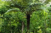Tree Fern In Tropical Forest