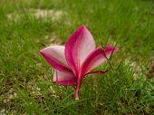 Leelavadee Flower