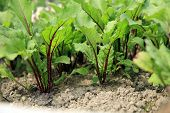 Young beetroots