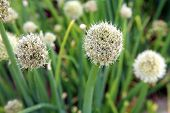 White ball flower chive.