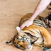 Young Tiger Cub In Famous Tiger Temple In Kanchanaburi, Thailand