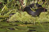 Northern Watersnake Basking In Sun