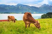 picture of bavarian alps  - Cows on the meadow at Bavarian Alps - JPG