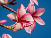 Plumeria flowers blooming over sky backgrolund. Macro closeup.