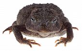 Closeup Of A Toad