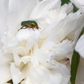 image of sweetpea  - shiny green beetle on a white flower peony - JPG