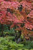 Japan, Nikko, Rinnoji Temple, Maple trees in Fall colors