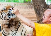 Buddhist monk feeding with milk a Bengal tiger in Thailand