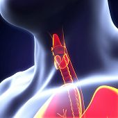 stock photo of human neck  - Human Thyroid Gland Illustration  - JPG