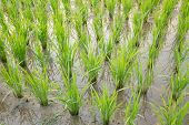 Paddy Rice - Rice Field