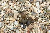 Dog Feces On Background Of Pebble Stones
