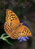 Silver-washed Fritillary On A Blue Flower