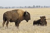 Two North American Bison In The Autumn Steppe