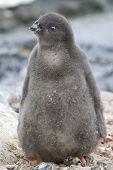 Adelie Penguin Chick Near The Nest Sunny Summer Day