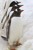 Three Gentoo Penguins That Stand In The Way Of The Colony To The Ocean