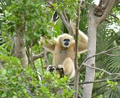 gibbon hanging on tree in the zoo
