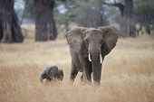 African Elephant with her calf