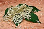 picture of elderberry  - Health elderberry flowers on a wooden table - JPG