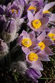 Pasqueflower - Early Spring Violet Flower On A Meadow With Grass