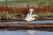 Great Pelican Taking Off From Swamp