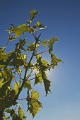 grapevine in backlighting in summer