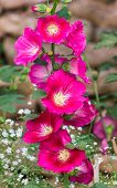 picture of hollyhock  - Red Hollyhock  - JPG