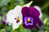 Dandy Pansy Flower
