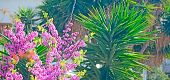 stock photo of judas tree  - pink judas tree flowers in a green garden - JPG