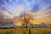 beautiful landscape of dry tree branch and sun flowers field against colorful evening dusky sky use