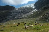 Sheeps On Meadow Nearby Glacier In Alps In Switzerland