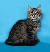 Fluffy Tabby Cat With Collar Sitting On Blue