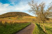 Vineyards in Pfalz at autumn time, Germany